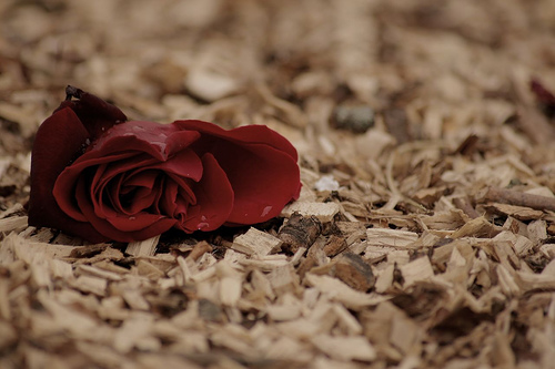 Lonely_rose